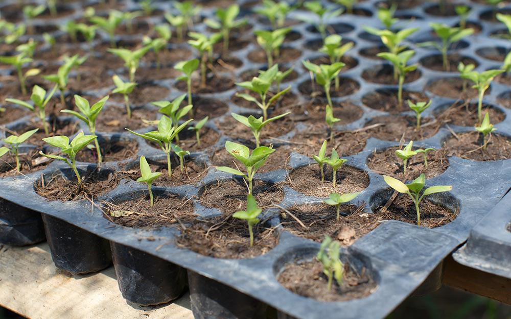 Rows of seedlings in a growing pan.