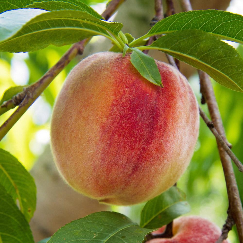 A ripe peach on a peach tree branch.