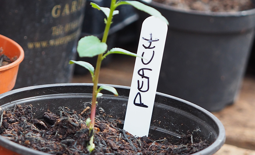 A small peach tree beginning to grow from soil in a garden container.