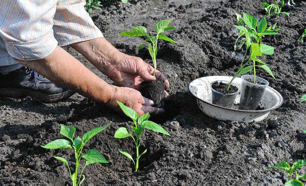 Gardener planting peppers in the soil