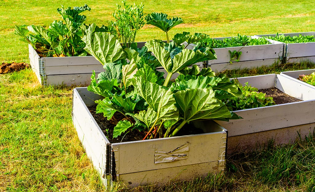 Raised garden beds with rhubarb