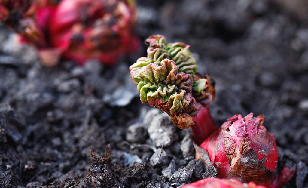 Rhubarb growing in a garden bed