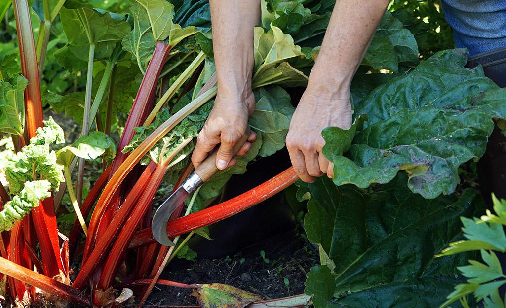 Gardener cutting rhubarb stalks in the garden