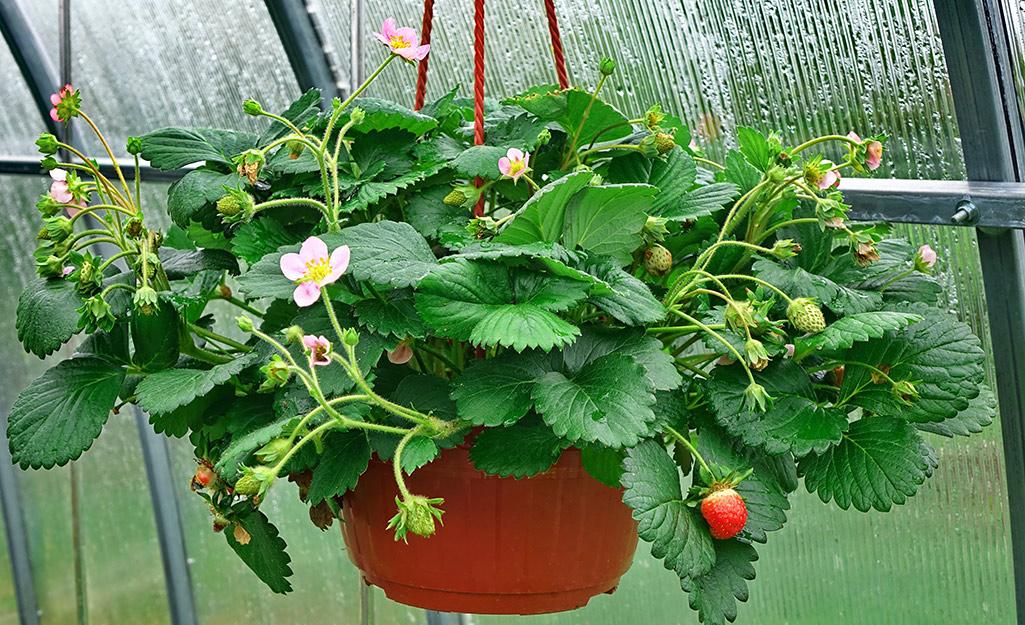 Strawberries growing in a hanging basket