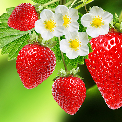 Red ripe strawberries and flowers on a plant