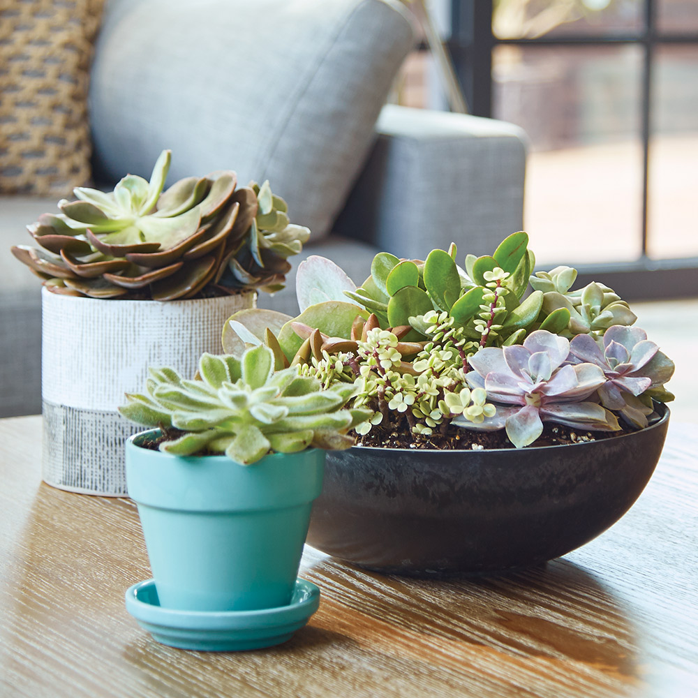 Best Succulents For Your Garden The Home Depot