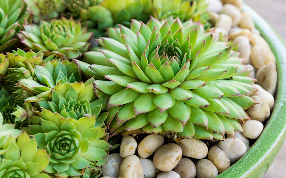 Hens and chicks succulents in a planter topped with pebbles.