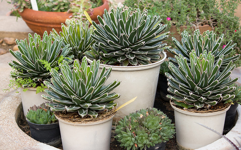 Agave succulents growing in white containers of different sizes.