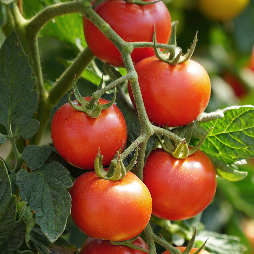 Ripe red tomatoes in the garden
