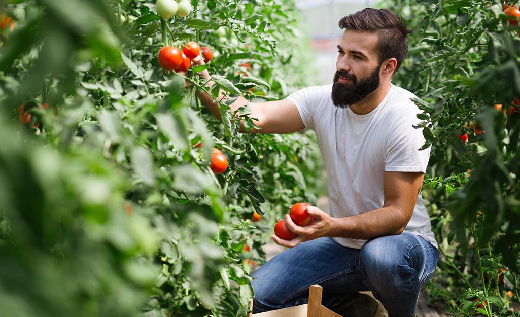 Gardener picking tomatoes