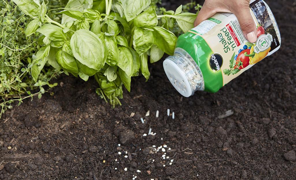 Person planting tomato seedling