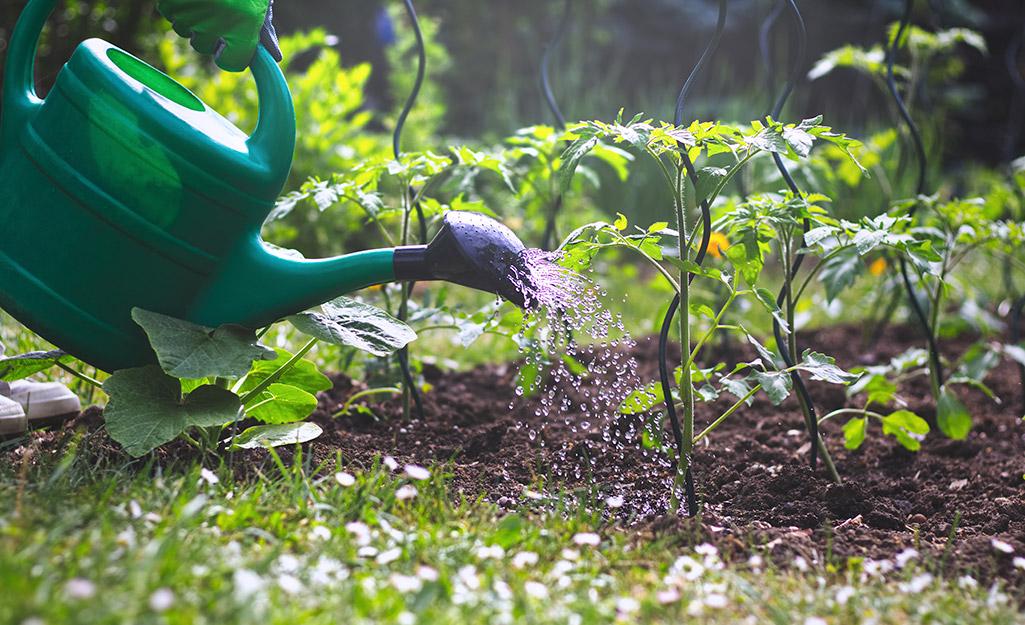 A person watering tomato plants