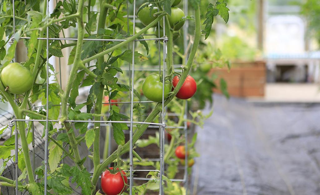 A person Fertilizing tomato plants