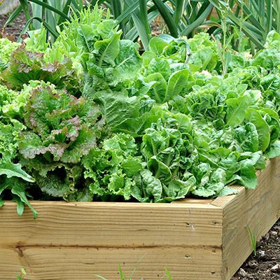 A raised garden bed filled with a variety of lettuces.