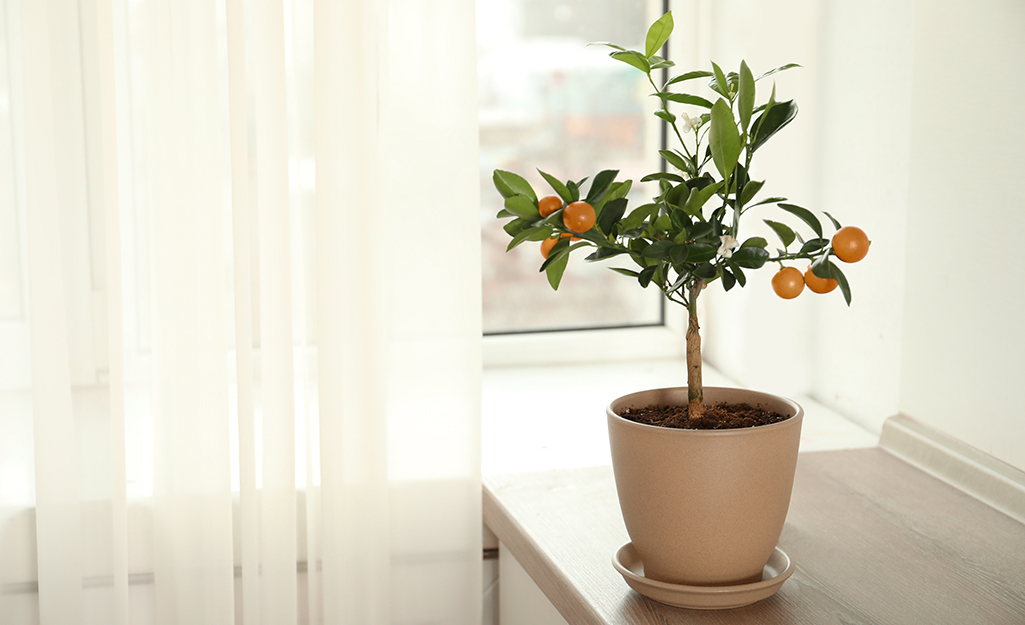 Small citrus tree in pot by bright window