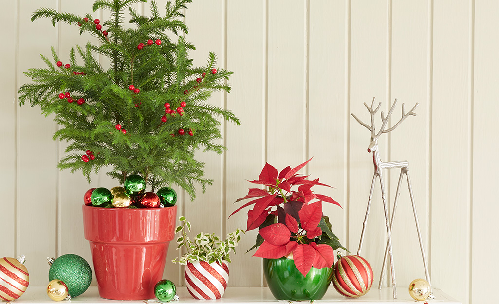 Norfolk Island pine in container with poinsettia