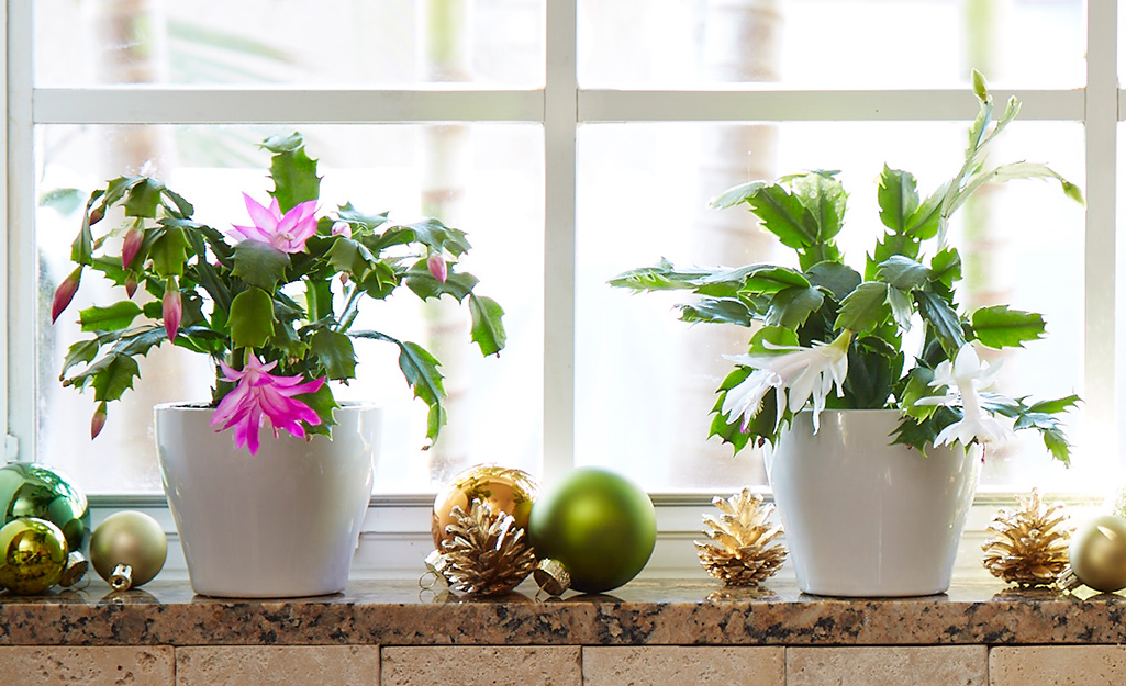Pink and white Christmas cacti plants in containers