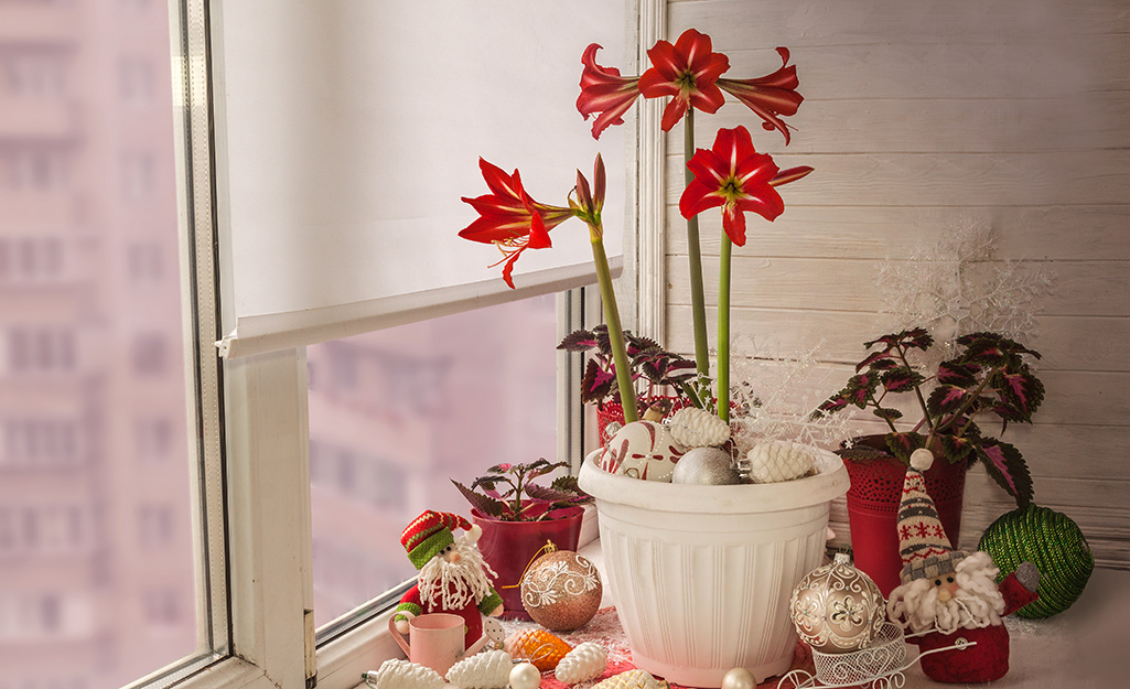 Red amaryllis in container by bright window