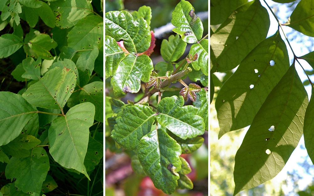 How To Get Rid Of Poison Ivy The Home Depot