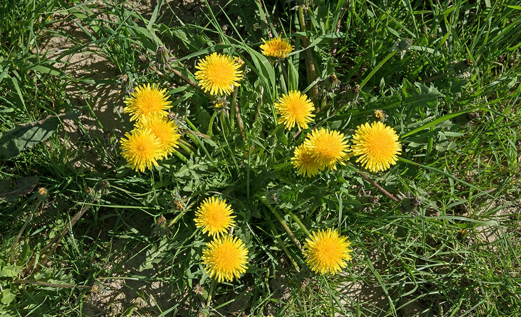 Dandelion weeds in the lawn.