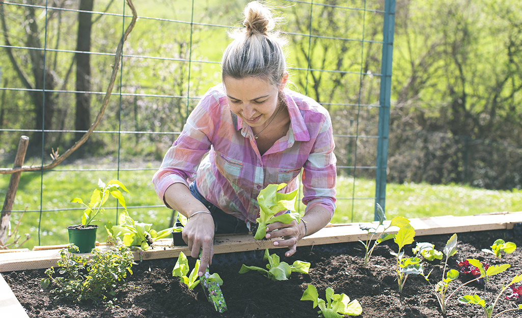 Gardener planting seedlings in a raised garden bed