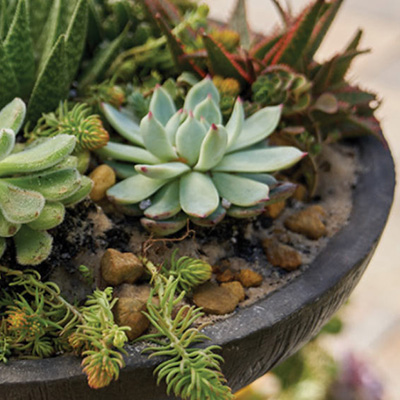 Create a beautiful outdoor display of easy-care succulents in a charming bird bath