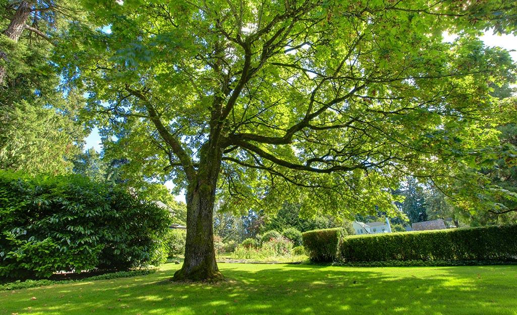 Cây cao, cành khỏe, thích hợp làm xích đu trên cây, ở bãi cỏ xanh.