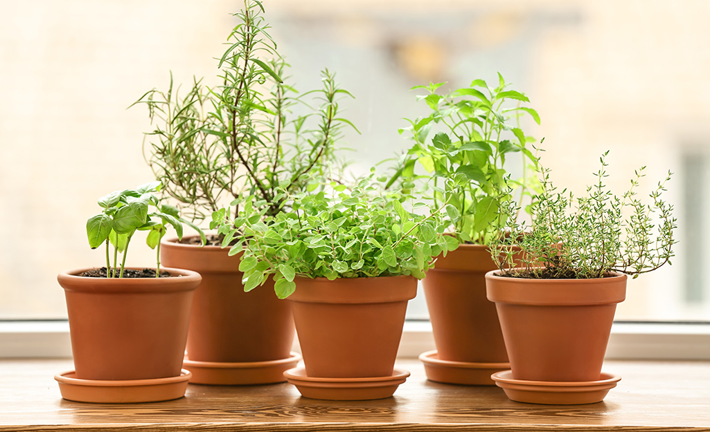 Five terra cotta pots in saucers planted with a variety of herbs.