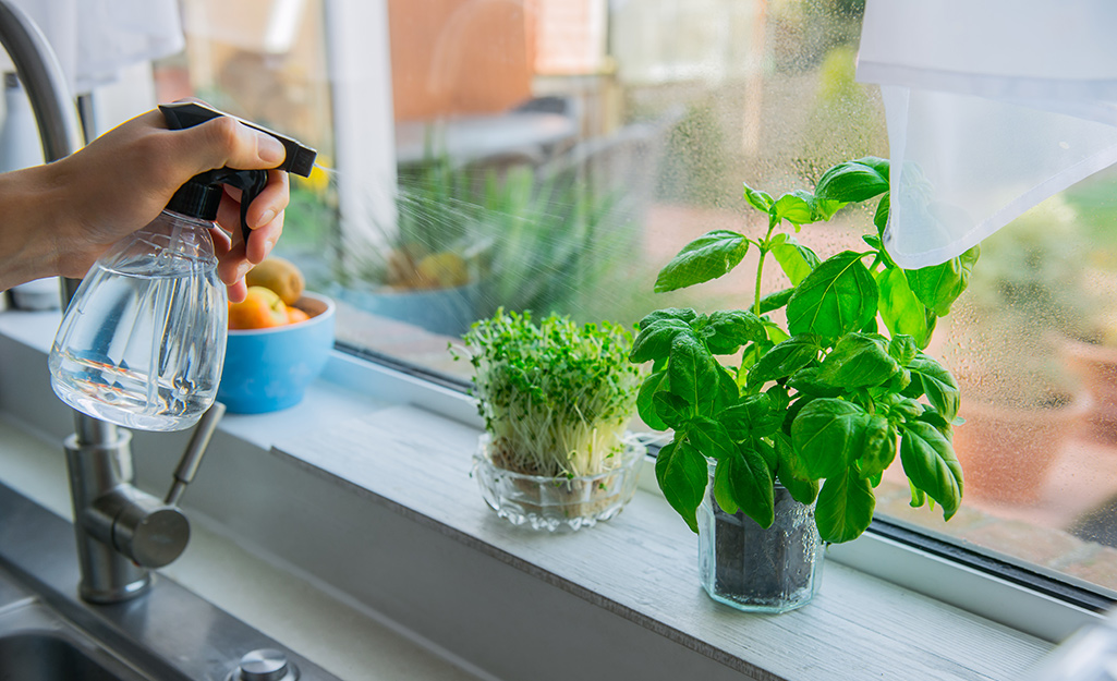 Someone using a spray bottle to miss two pots of herbs in a kitchen window.