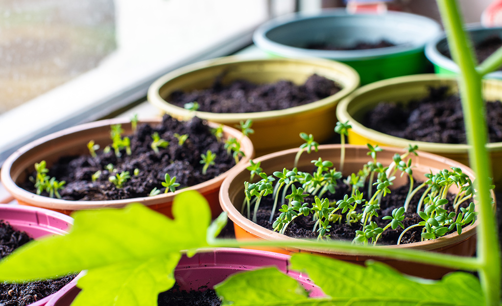 Pots of herb seedlings beginning to sprout.