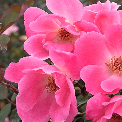 Plant a Bare-Root Rose