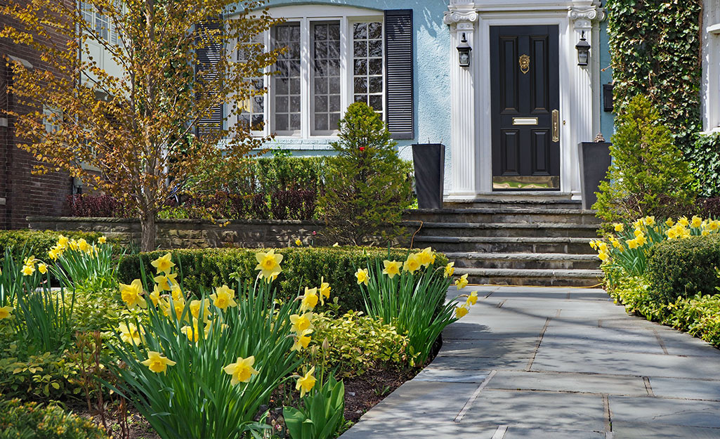 Daffodils in a sunny front yard