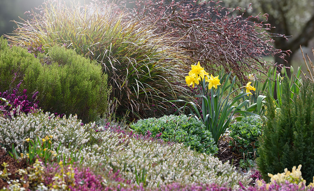 Blooming daffodil bulb in garden with perennials and ornamental grass