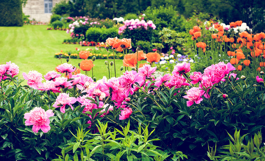 Peonies and poppies in a flower border