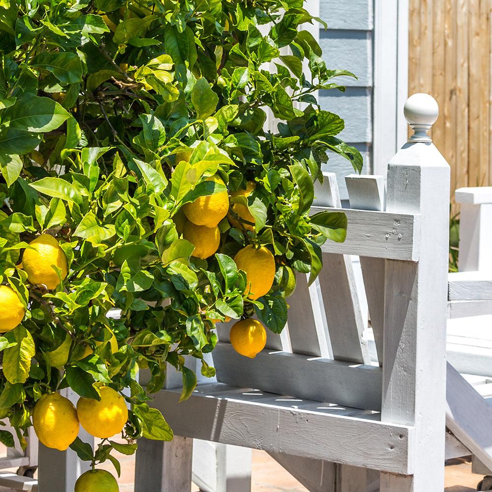 A lemon tree by a porch