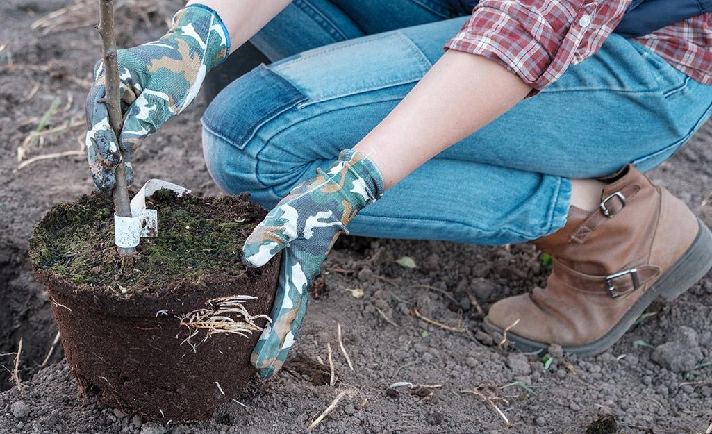 A gardener planting a fruit tree