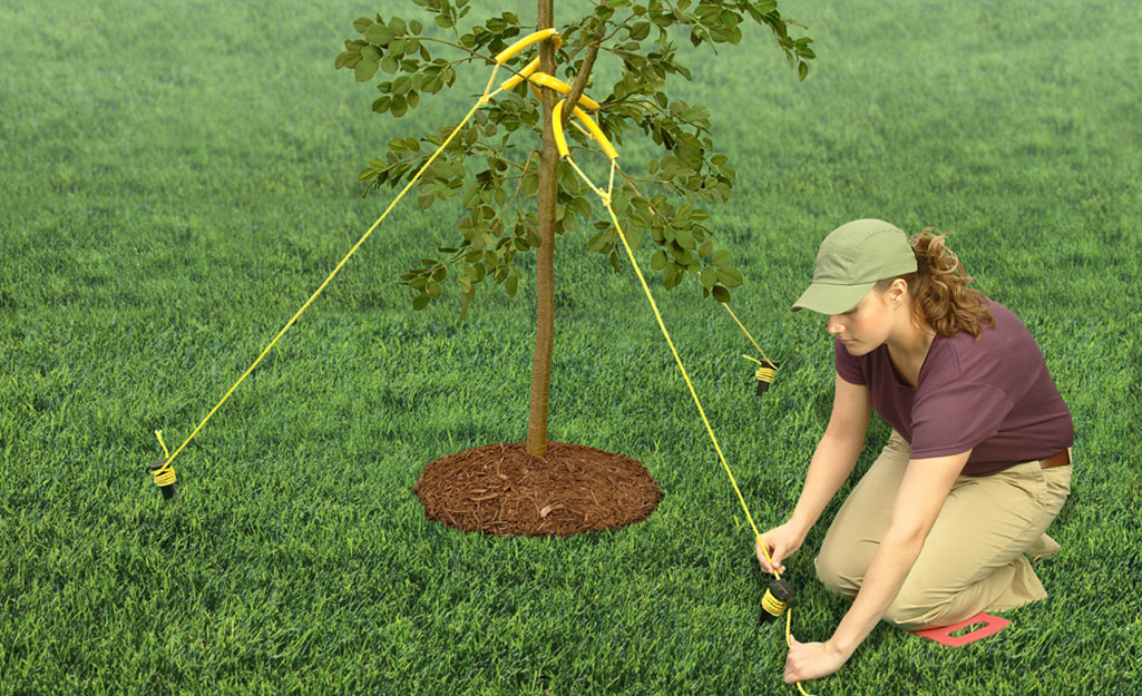 A gardener staking a fruit tree