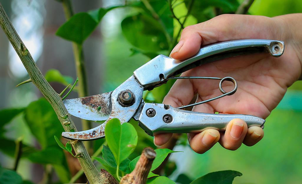 A gardener pruning a tree