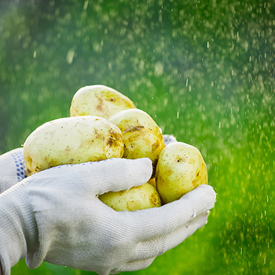 person wearing gloves holding a bunch of potatoes