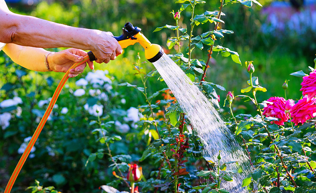 Gardener watering roses