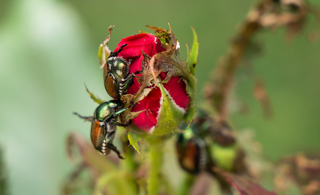 Japanese beetle on a rose bud