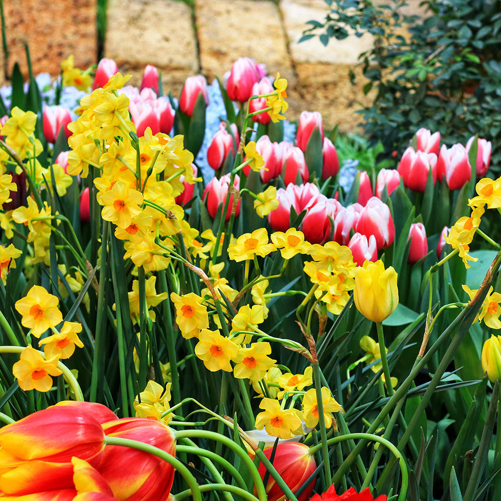 Daffodils and tulips in a flower border