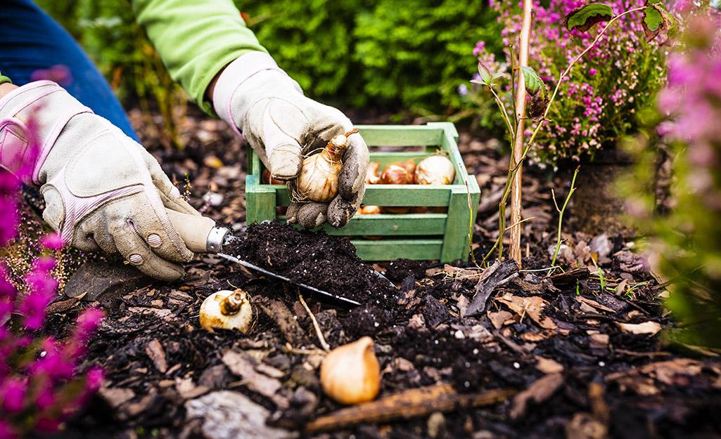 Position the bulbs - Plant Summer-Flowering Bulbs