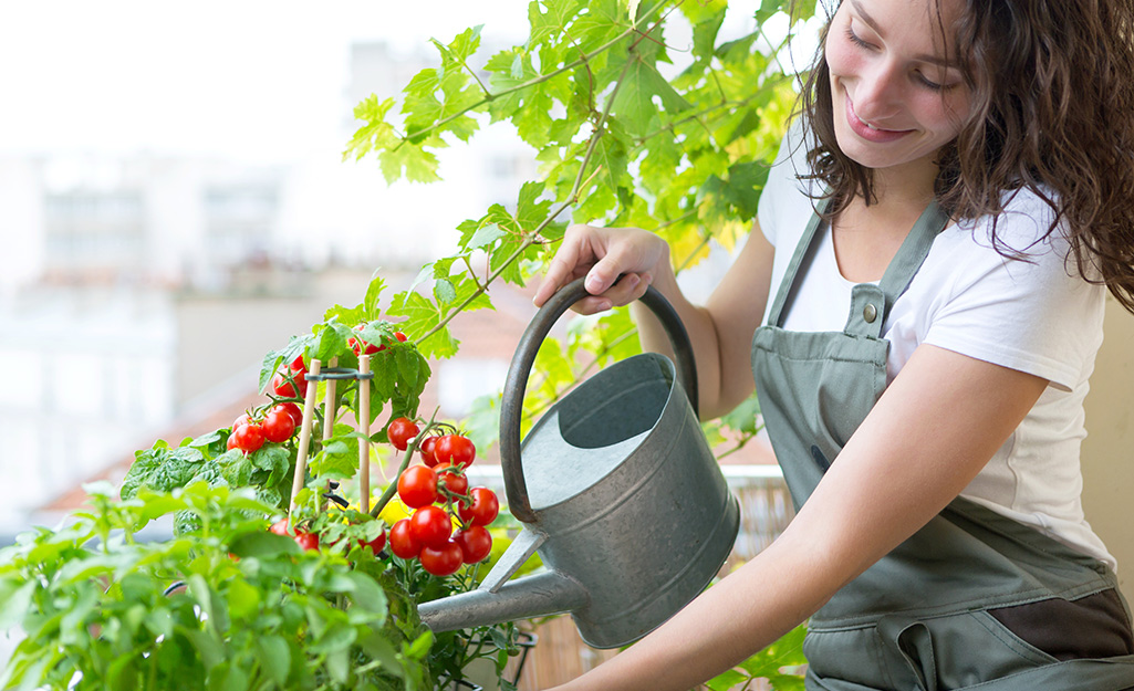 Gardener watering tomato plants