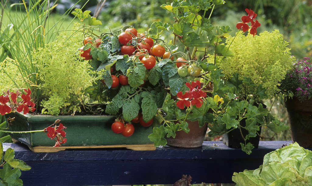 Red ripe tomatoes growing in a container