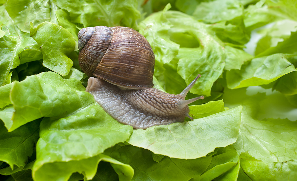Snail on lettuce leaf in the garden