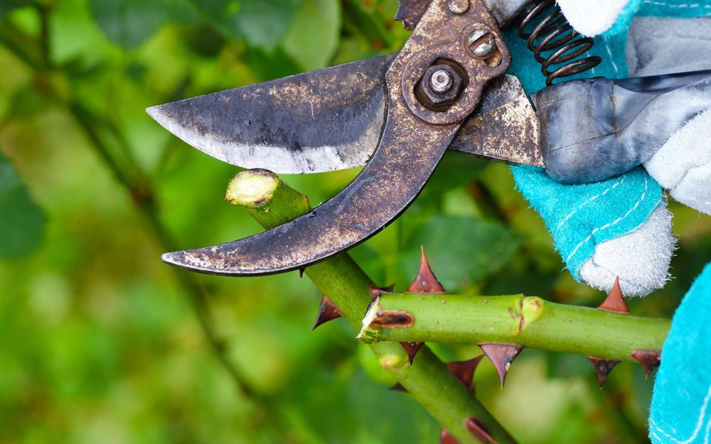 Pruner tool cutting rose branch