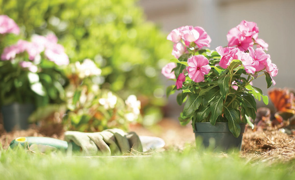 A pink flowering plant sits outside in full sun in a container next to gardening tools.
