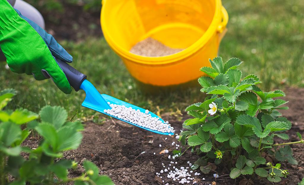 A person fertilizes some outdoor plants in a garden.