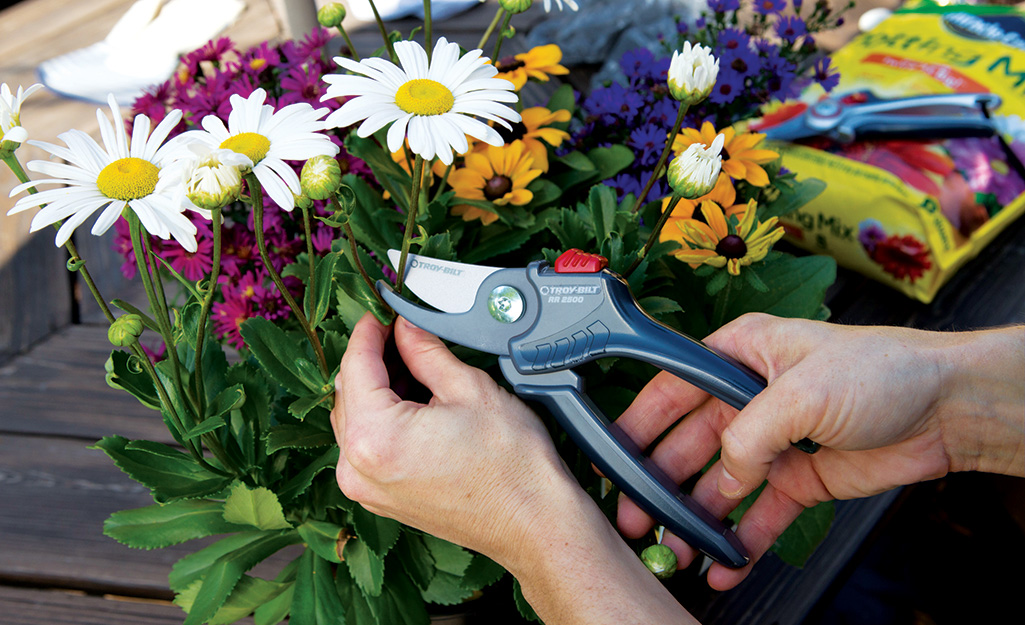 A person uses shears to cut a daisy.